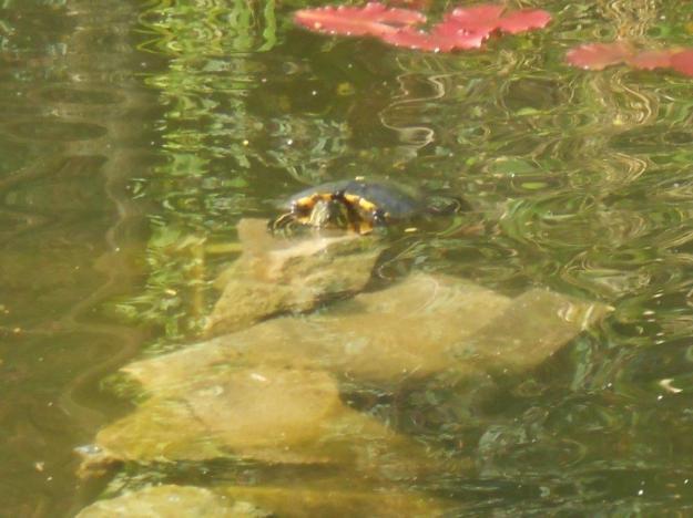 Schildkröte 042014 1