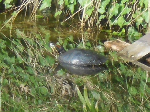 Schildkröte 042014 2