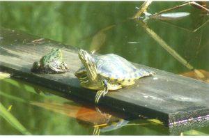 Schildkröte und Frosch beim Sonnenbad am Teich